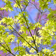 Detail of green and red leaves of Japanese maple tree in Spring bloom. - PhotoDune Item for Sale