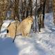 Alert Eurasian lynx looking away on snow amidst bare trees - PhotoDune Item for Sale