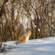 Lynx looking away while sitting on snow in nature - PhotoDune Item for Sale