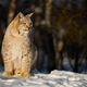 Lynx looking away while sitting on snow during sunny day - PhotoDune Item for Sale