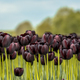 Black Tulip field scene - PhotoDune Item for Sale