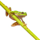 Cute Green Tree frog on  a long diagonal stick - PhotoDune Item for Sale