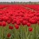 Tulip field scene - PhotoDune Item for Sale