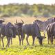 Common Wildebeest herd with zebra - PhotoDune Item for Sale