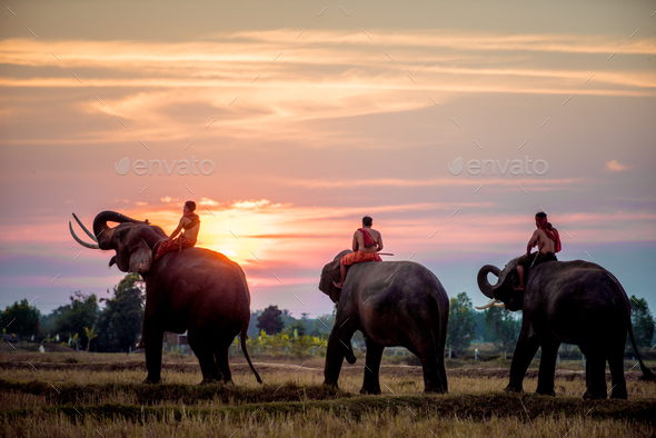 Elephant at sunrise in Thailand - Stock Photo - Images