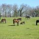 Horses grazing, resting, playing and sleeping on a green grass under the sun. - PhotoDune Item for Sale