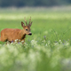 Roe deer buck sneaking on blooming meadow in summer nature - PhotoDune Item for Sale