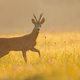 Roe deer buck looking to the camera on grass in morning light - PhotoDune Item for Sale