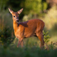 Roe deer female standing on glade in summer sunlight - PhotoDune Item for Sale
