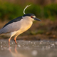 Black-crowned night heron standing in river in spring illuminated by evening sun - PhotoDune Item for Sale
