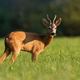 Roe deer chewing on green field in summer sunlight - PhotoDune Item for Sale