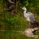 Grey heron standing on fallen tree in water in summer - PhotoDune Item for Sale