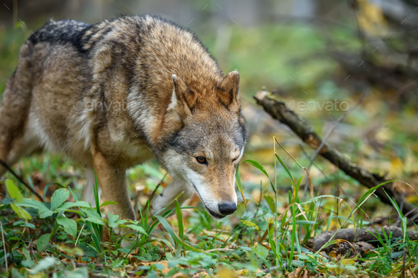 Close up wolf in autumn forest background - Stock Photo - Images