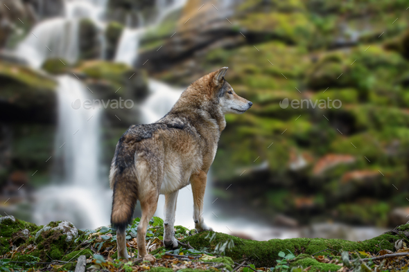Timber wolf hunting in mountain on waterfall background - Stock Photo - Images