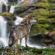 Timber wolf hunting in mountain on waterfall background - PhotoDune Item for Sale