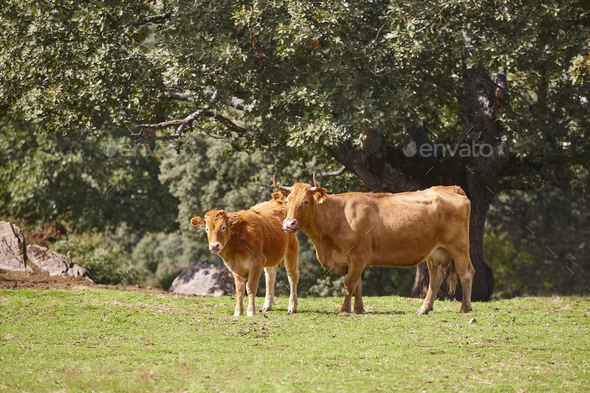 Cow and a calf grazing in the countryside. Pasture. Cattle - Stock Photo - Images