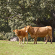 Cow and a calf grazing in the countryside. Pasture. Cattle - PhotoDune Item for Sale