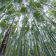 bamboo forest in spring - PhotoDune Item for Sale