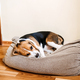Puppy Diseases, Common Illnesses to Watch for in Puppies. Sick Beagle Puppy is lying on dog bed on - PhotoDune Item for Sale