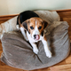 Beagle Personality, temperament. Beagle Puppy at home. Little Beagle breed dog at his new home - PhotoDune Item for Sale