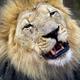 Lion in Botswana - PhotoDune Item for Sale