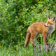 Attentive red fox cub walking on the tree stump in the green forest - PhotoDune Item for Sale
