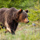 Brown bear walking in woodland in summertime nature - PhotoDune Item for Sale