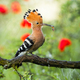 Colorful summer portraif of eurasian hoopoe, upupa epops, eating on the branch - PhotoDune Item for Sale
