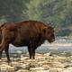 European bison standing on rocks in water in summer - PhotoDune Item for Sale