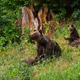 Family of brown bear playing on glade in summer nature - PhotoDune Item for Sale