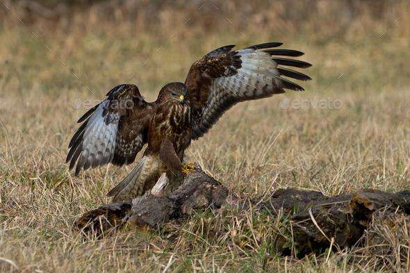 Common buzzard (Buteo buteo) - Stock Photo - Images