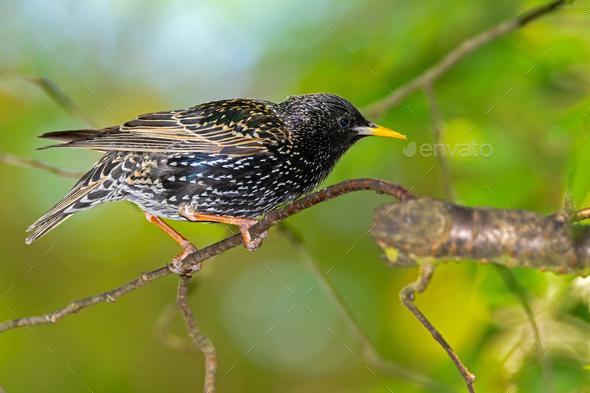 Closeup of a black starling bird - Stock Photo - Images