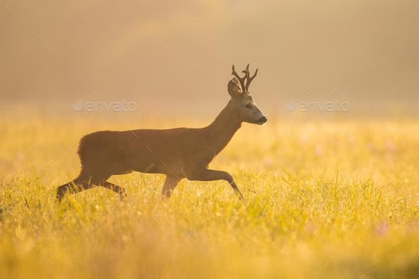 Roe deer buck walking on meadow in summer morning sunshine - Stock Photo - Images