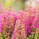 Landscape flowering Erica tetralix small pink lilac flowers plants - PhotoDune Item for Sale