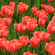 beautiful red tulips - PhotoDune Item for Sale