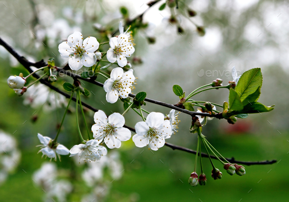 branch of a blossoming tree - Stock Photo - Images
