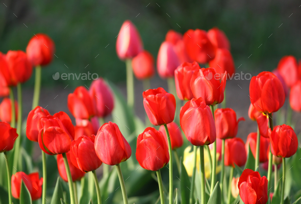 beautiful red tulips - Stock Photo - Images