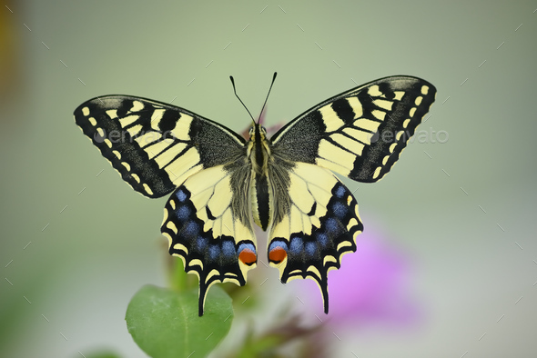 Close up of swallawtail butterfly perched on flowers and sucking nectar - Stock Photo - Images