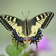 Close up of swallawtail butterfly perched on flowers and sucking nectar - PhotoDune Item for Sale