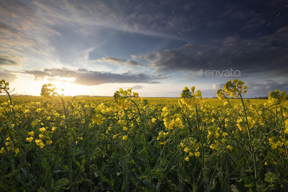 rapeseed flower field in sunny day - Stock Photo - Images