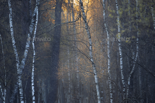 sunrise light in spring forest - Stock Photo - Images