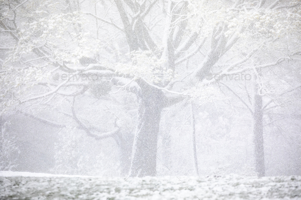 Heavy snow fall during spring with blossoming trees - Stock Photo - Images