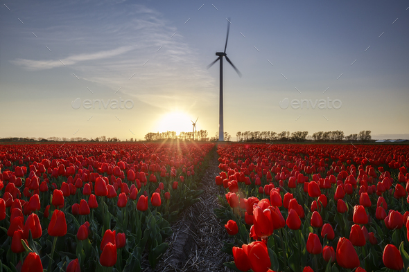 field of red tulips and turbine at sunset - Stock Photo - Images
