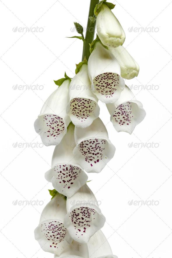 White digitalis purpurea flowers - Stock Photo - Images