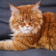 Red maine coon cat laying on a sofa - PhotoDune Item for Sale