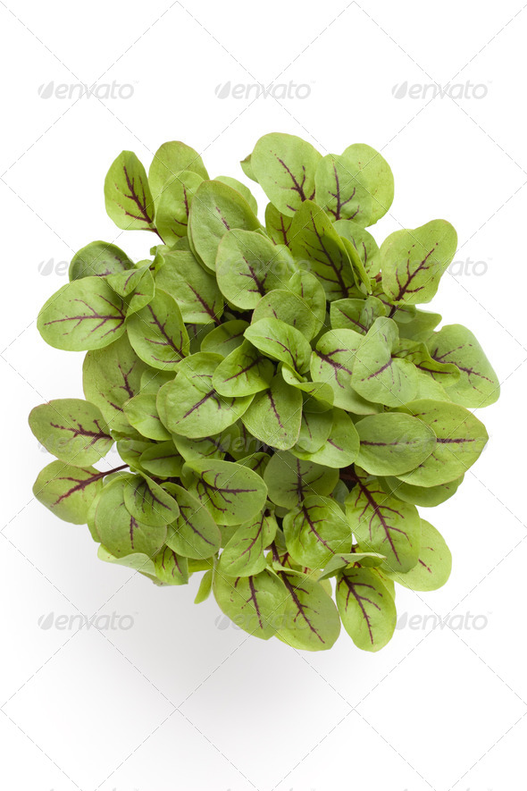 Leaves of red veined dock - Stock Photo - Images