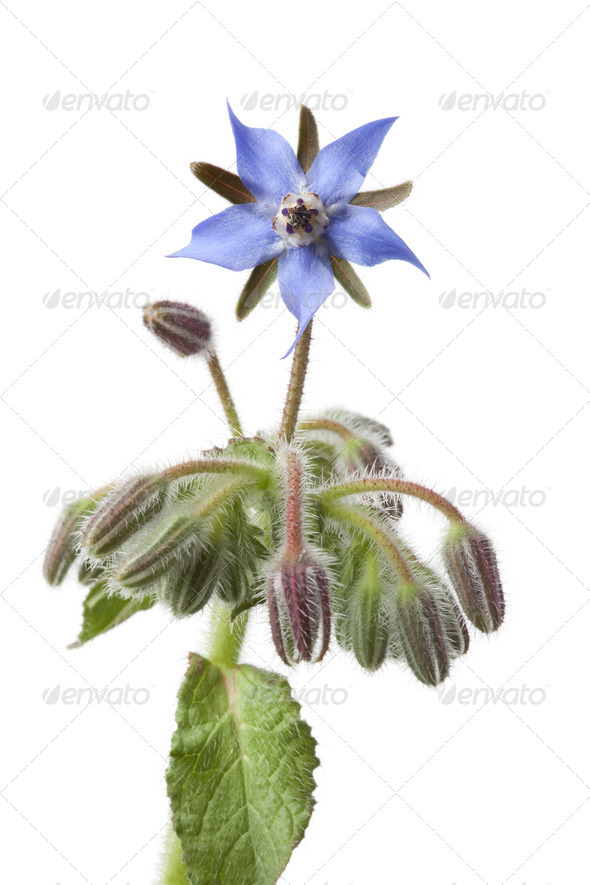 Flowering Borage and buds - Stock Photo - Images