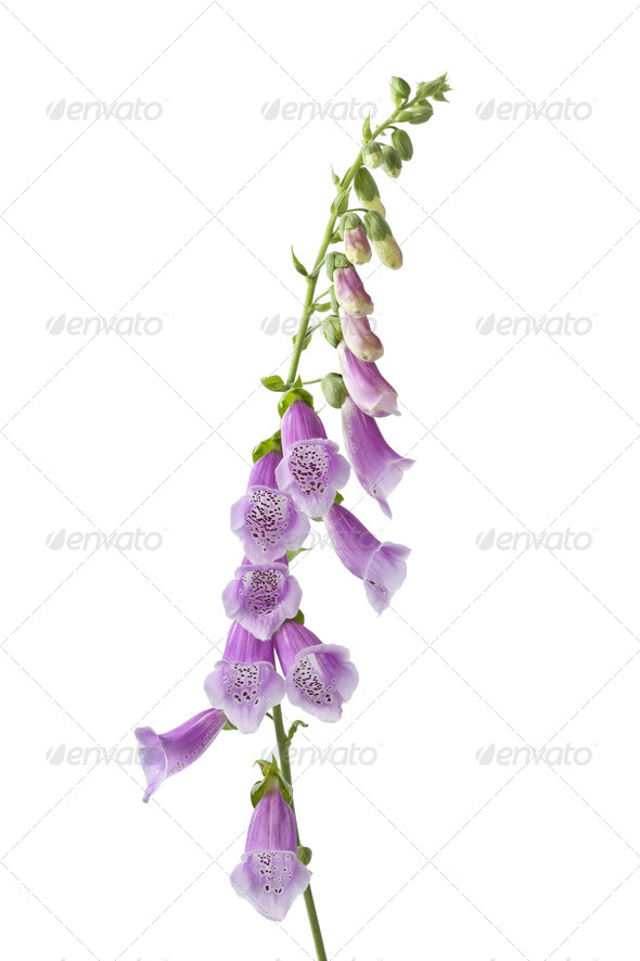 Purple flowering foxglove - Stock Photo - Images