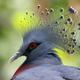 Victoria crowned pigeon (Goura victoria) - PhotoDune Item for Sale