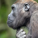A Young Western Lowland Gorilla - PhotoDune Item for Sale